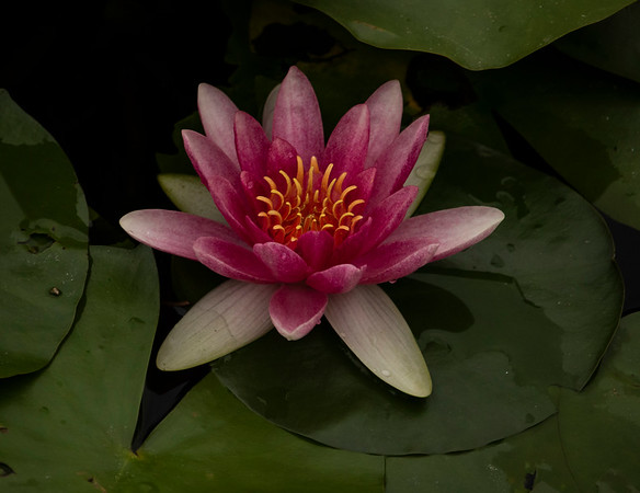 Water Lilly in Pink