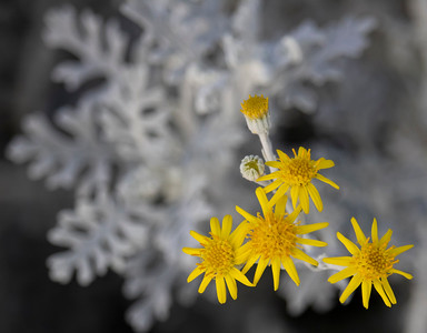 Yellow Dusty Miller