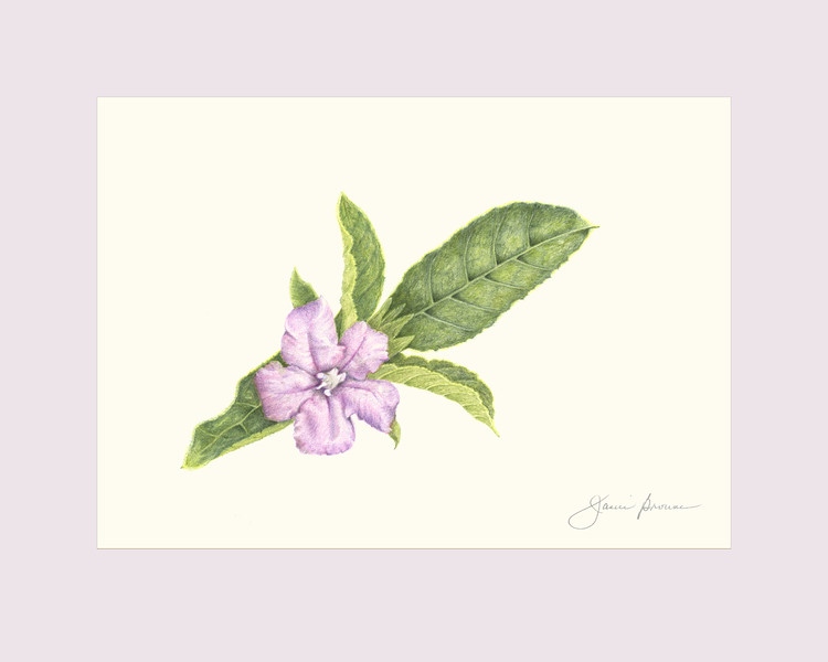 "<i>Wild Petunia</i>  (2015) Colored pencil - 5"" x 7"" (excluding mat)"