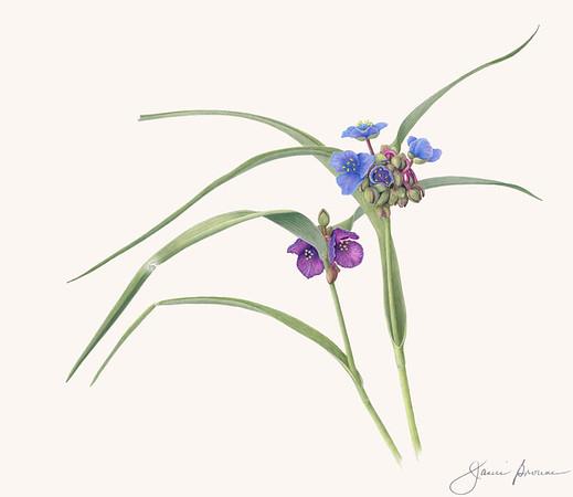 """Virginia Spiderwort - Colored pencil on matte film (2019) 13"""" x 15"""""""