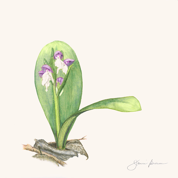 "<i>Showy Orchis</i>  (2016) Watercolor &amp; watercolor pencil - 9"" x 9""  Exhibited at ""<i>Botanica 2016: The Art and Science of Plants</i>"", Summer 2016, Brookside Gardens, Wheaton, Maryland"