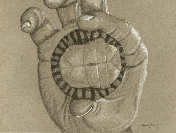 """Baby snapping turtle - Graphite & white charcoal on toned paper (2014) 9"""" x 12"""""""