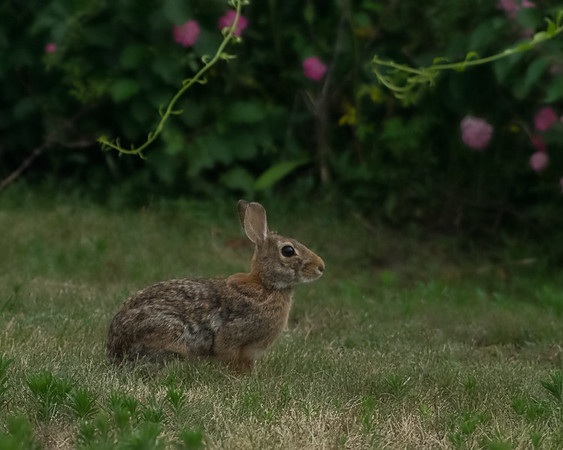 The Mattapoisett Rabbit