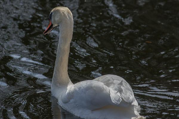 Swan #3