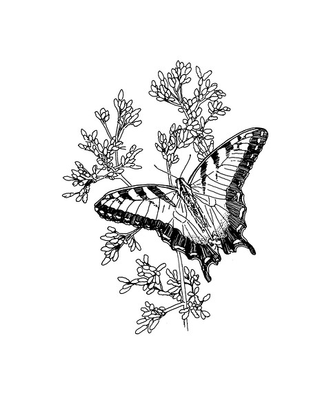 "<i>Tiger Swallowtail on Joe Pye Weed</i>  (2019) Pen &amp; ink - 8.5""x11"" For BASNCR pollinator coloring book"