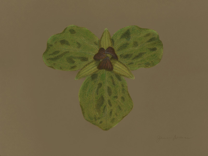 "<i>Toadshade Trillium</i>  (2015) Pastels on toned paper - 9"" x 12"""