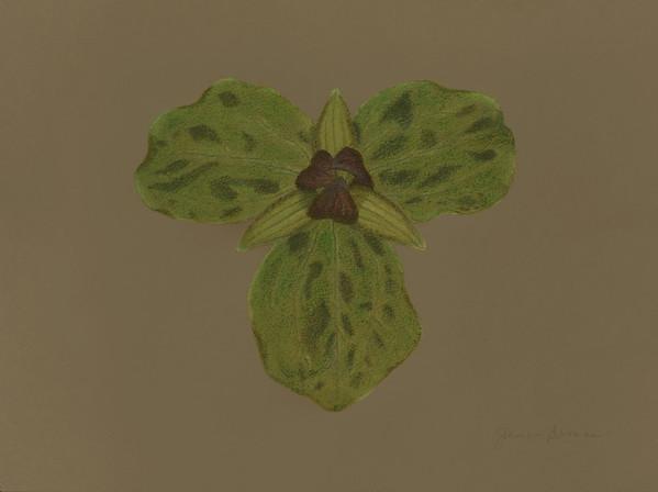 "Toadshade Trillium - Pastels on toned paper (2015) 9"" x 12"""