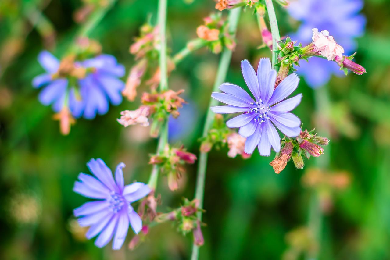 Hay Field Flower