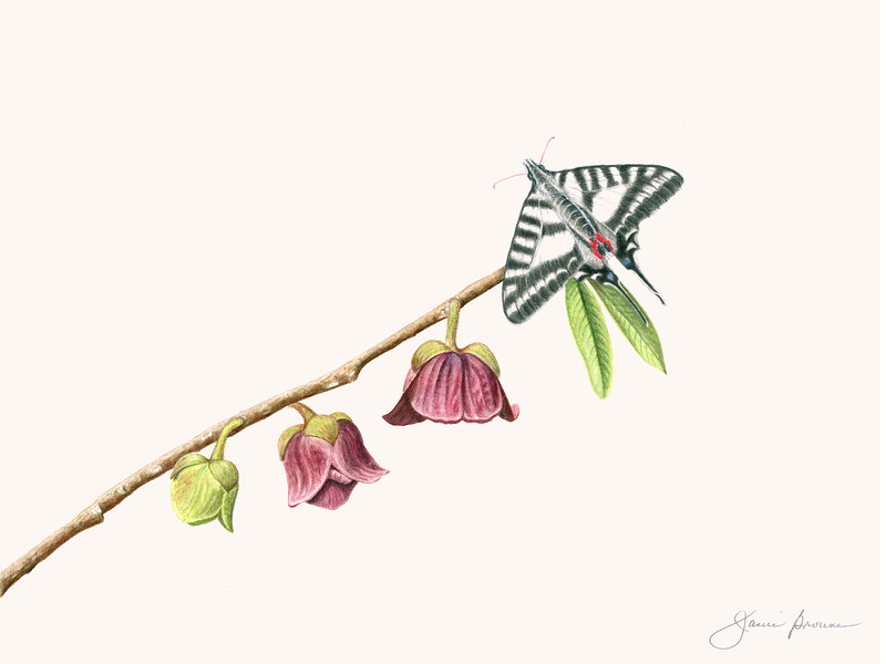 "<i>Pawpaw in Spring</i>  (2016) Watercolor - 9"" x 12""  Exhibited at ""<i>Botanica 2018: The Art and Science of Plants</i>,"" Summer 2018, Brookside Gardens, Wheaton, Maryland, and ""<a href=""http://www.bettymaekramergallery.com/exhibitions/#/living-well-plants-that-nourish-and-heal/"" target=""_blank""><i>Living Well: Plants that Nourish and Heal</i></a>,"" Autumn 2016, Kramer Gallery, Silver Spring, Maryland <a href=""http://files.janicebrowne.com/Janice_Browne_Kramer_Pawpaw.pdf"" target=""_blank"">Artist Statement</a>  <img src=""https://photos.smugmug.com/photos/i-phRrJPm/0/O/i-phRrJPm.gif"">"