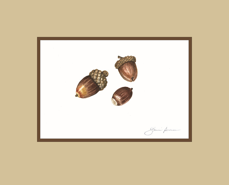 "<i>Acorns</i>  (2015) Watercolor - 4"" x 6"" (excluding mat)"