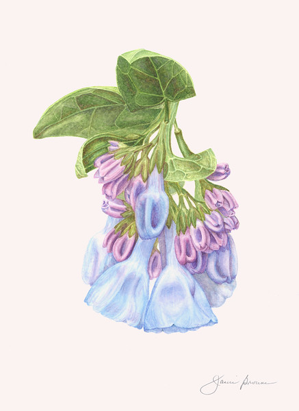 "<i>Virginia Bluebells</i>  (2016) Watercolor - 8"" x 11""  Exhibited at ""<i>Botanica 2016: The Art and Science of Plants</i>"" and at ""<i>Botanica 2018</i>"", Brookside Gardens, Wheaton, Maryland"