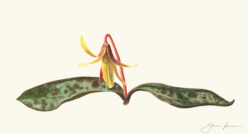"Trout Lily - Watercolor (2015) 6.5"" x 12"""