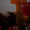 A crested saguaro