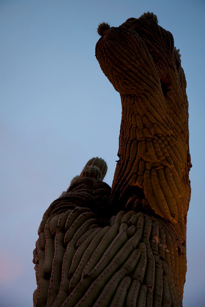 The crested saguaro from the side