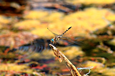 Dragonfly - Rattlesnake Springs, New Mexico