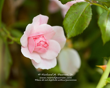 A pink rose begins to bloom in Erie Pennsylvania on an early August afternoon.