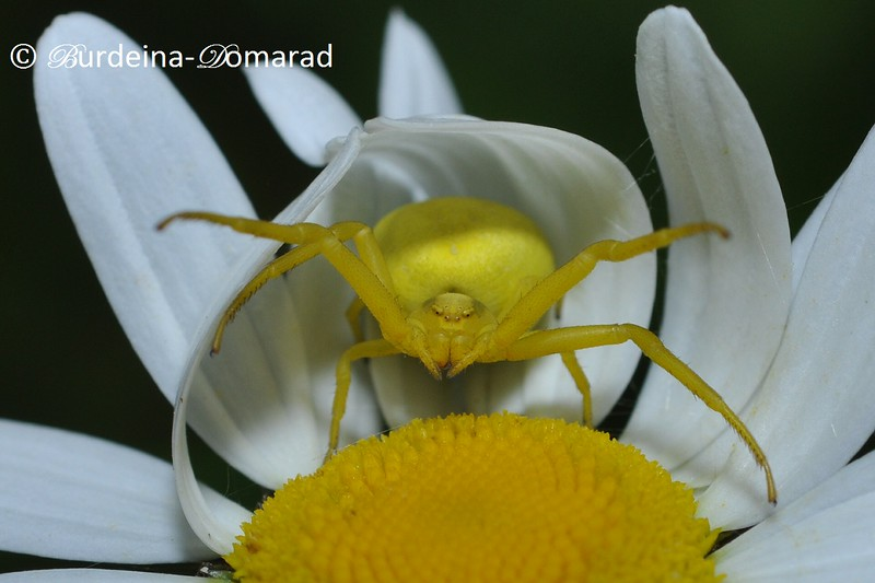 Павук-бокохід Родина - Thomisidae
