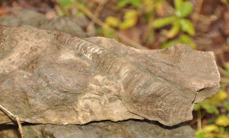 Ортоцерас * Orthoceras