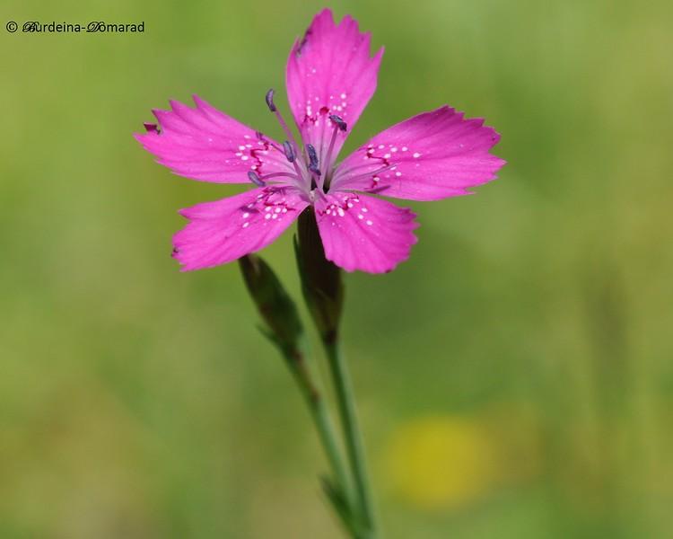 Гвоздика дельтоподібна. Лат.: Dianthus deltoides