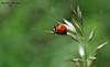 Божа корівка,сонечко (лат. Coccinellidae)