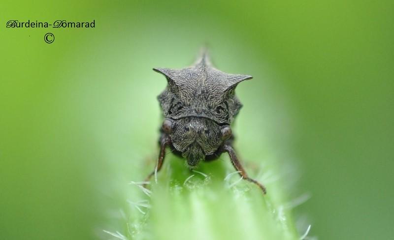 ГОРБАТКА  (сімейство комах )