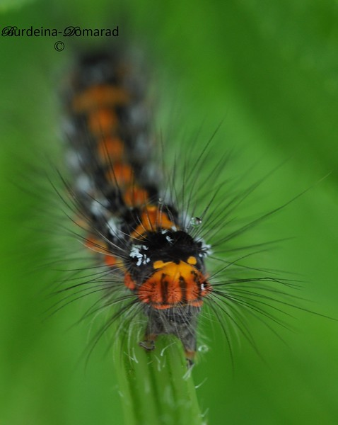 Gypsy moth, caterpillar