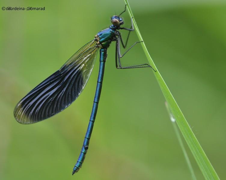 Блискуча красуня (лат. Calopteryx splendens)