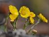 Квіти мати-й-мачухи - Farfarae flos