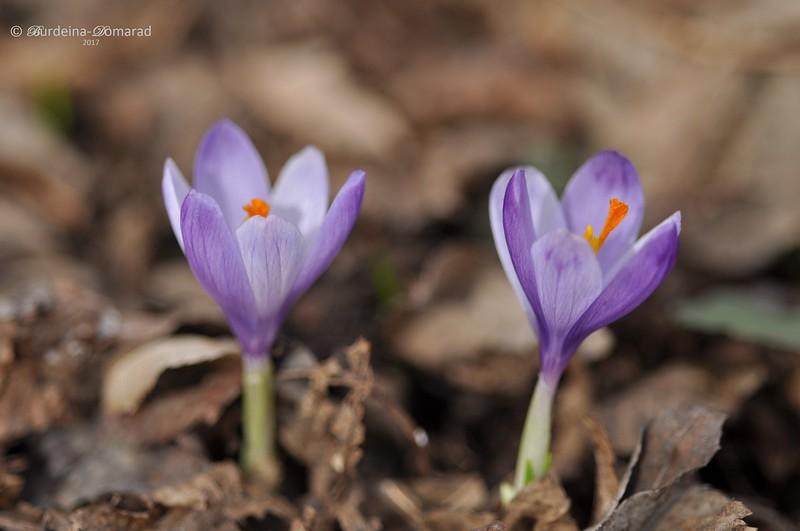 Шафран Гейфелів Crocus heuffelianus Herb