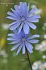 Цикорій дикий, або звичайний (Cichorium intybus)