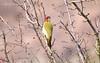 Жовна зелена (Picus viridis) - копия
