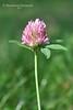 Конюшина лучна * Trifolium pratense