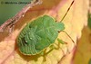 Щитники * Pentatomidae