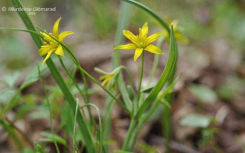 Зірочки жовті (Gagea lutea)