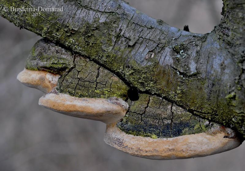 Трутовик сливовий * Phellinus pomaceus
