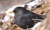 Дрізд чорний (самець) * Turdus merula (male)