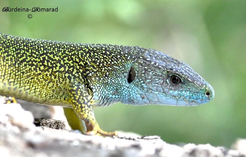 Ящірка зелена Lacerta viridis