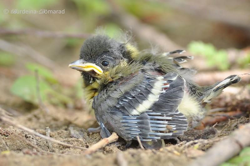 Синиця велика (Parus major) пташеня