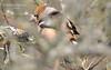 Костогри́з, або костогри́з звича́йний (самець) * Hawfinch  (Coccothraustes coccothraustes, male)