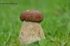 Білий гриб, боровик  * Boletus edulis Bull. ех Fr._ або Boletus bulbosus Schaeff. ех Schroet.