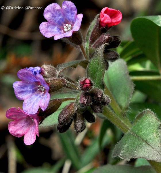 Медунка лікарська (Рulmonariа officinalis)