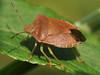 Щитники * Pentatomidae. Один із видів