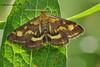 Вогнянка пурпурна  *  Pyrausta purpuralis Linnaeus, Crambidae.