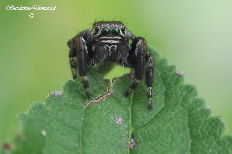 Павук-скакун Salticus Scenicus
