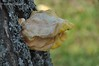 Трутовик сірчано-жовтий або Летипор сірчано-жовтий  * Laetiporus sulphureus