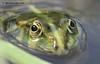 Зелена жаба (Pelophylax)