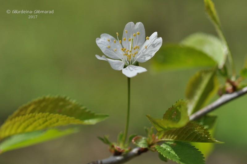 Квітка дикої черешні