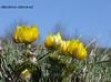 Горицвіт весняний Adonis vernalis L