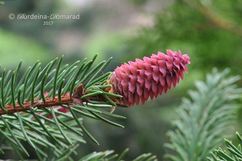 Ялина аянська або иезская - Picea jezoensis
