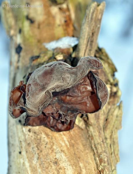 Аурикулярія вухоподібна, також Іудине вухо  *  Аuricularia auricula-judae
